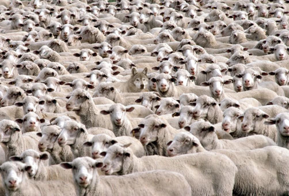 wolf amongst the sheep